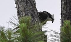 05-07-18-0016551 (Lake Worth) Tags: animal animals bird birds birdwatcher everglades southflorida feathers florida nature outdoor outdoors waterbirds wetlands wildlife wings