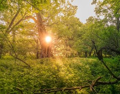 Birth of light (Laptinek) Tags: nature flora light gold woods trees rays landscape