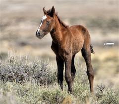MOON SHADOW (Aspenbreeze) Tags: foal filly wildhorse horse mustang sandwashbasinwildhorserange coloradowildlife wildlife wildanimal nature bevzuerlein aspenbreeze