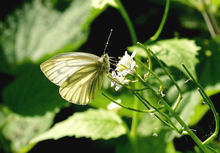 Green-veined White --- Pieris napi