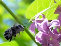 Grey and Black Striped Bumble Bee (starmist1) Tags: greyandblackstriped bumblebee lilac bush insect may spring