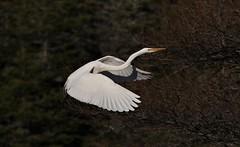 Great Egret (kearneyjoe) Tags: greategret