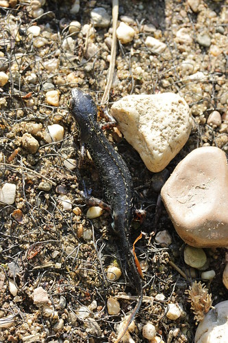 Alpine newt - Ichthyosaura alpestris