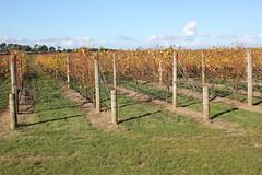 IMG_9852 (winecompass) Tags: pt leo estate mornington peninsula vines