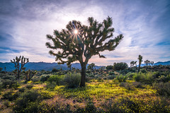 Joshua Tree National Park Wildflowers California Superbloom Scenery! Elliot McGucken Fine Art Landscape & Nature Photography! High Res A7R2 Scenic Wild Flowers View! Sony A7R II Spring Super Bloom Vista! Magnificent Cali Landscape! HDR JT NP Epic 45Epic! (45SURF Hero's Odyssey Mythology Landscapes & Godde) Tags: joshua tree national park wildflowers california superbloom scenery elliot mcgucken fine art landscape nature photography high res scenic wild flowers view sony a7r ii carl zeiss variotessar t fe 1635mm f4 za oss lens cloudy spring super bloom vista f 4 a7r2 magnificent cali