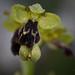 Ophrys dyris o vascónica.