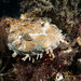 Always the baby - Orectolobus ornatus wobbegong #marineexplorer