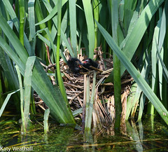 Afternoon nap (Katy Wrathall) Tags: 2018 may spring birds chick garden moorhen pond