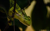 The eye of a Chameleon (Shubhashis Dixit) Tags: chameleon wildlife wild lizard green tree anima beauty eye 360eye 360 look reptile discoveryindia nationalpark natgeo