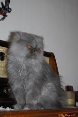 Guetteur (B. Dur-C.) Tags: chat cat gato gatto katz persan persano persian titus