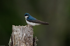 Tree Swallow (grobinette) Tags: treeswallow swallow male huntleymeadowspark huntleymeadows explored