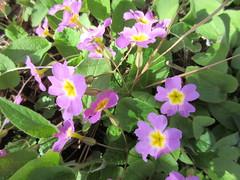 Pink flowers (jamica1) Tags: summerland ornamental gardens okanagan bc british columbia canada