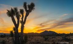 A classic desert scene (Photosuze) Tags: desert landscape trees joshuatrees sunset clouds sky mountains sand plants california nationalpark