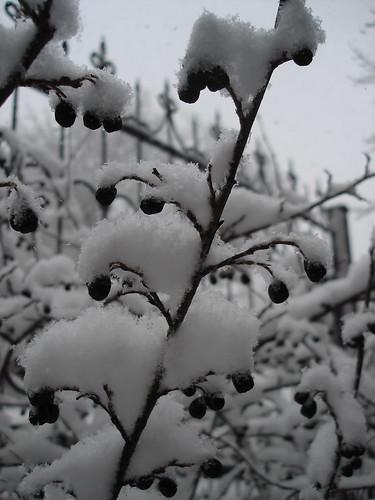 Снег на кусте с ягодами ©  ayampolsky