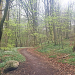 Woodland in misty spring thumbnail