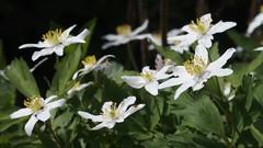 Wood Anemones (Nick:Wood) Tags: nature environment baddesleyclinton warwickshire woodanemone anemonenemorosa flower hedgerow