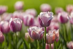 Tulpen   Tulips   Tulipa (*Photofreaks*) Tags: tulips tulpen flowers blumen blossoms blüten colours farben colourful bunt gruga grugapark essen deutschland germany nrw nordrheinwestfalen northrhinewestphalia spring frühling adengs wwwphotofreakseu tulipa