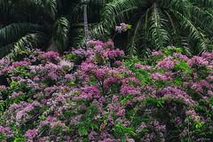 UN MURO COLORATO    ----    A COLORED WALL (Ezio Donati is ) Tags: panorama landscape colori colors flowers verde green alberi trees foresta forest africa costadavorio area yamoussoukro fiori