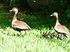 Whistling Ducks (M.P.N.texan) Tags: duck ducks whistlingduck whistlingducks texas chick chicks wild houston