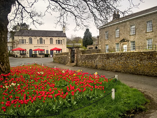Tulips at Newton in Bowland, Lancashire.