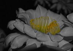 Details (oybay©) Tags: suncitywest arizona unique unusual nightbloom night cactusflower cactus flower flora fiori blumen argentinegiant macro upclose color colors white whiteflower light greatshot coolshot cool indoor black background
