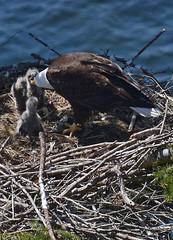 Feeding time (Snixy_85) Tags: eagle baldeagle haliaeetusleucocephalus nest eaglets