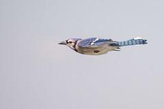 Blue Jay Way (gseloff) Tags: bluejay bird flight bif nature animal wildlife armandbayou pasadena texas kayak gseloff