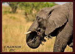 AFRICAN ELEPHANT (Loxodonta africana)....MASAI MARA....SEPT 2017 (M Z Malik) Tags: nikon d3x 200400mm14afs kenya africa safari wildlife masaimara keekoroklodge exoticafricanwildlife elephants npc
