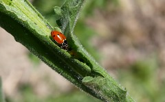 Adonia variegata en el desayuno. (J Carrasco (mundele)) Tags: valdemoro cdemadrid insectos coleoptera cucujiformia cucujoidea coccinellidae coccinellinae hippodamiini adonia