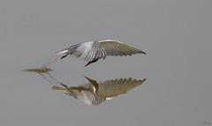 Fumarel cariblanco (Antonio Lorenzo Terrés) Tags: fumarel cariblanco ave pájaro bird fauna naturaleza