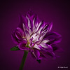 Purple dahlia (Magda Banach) Tags: canon canon80d sigma150mmf28apomacrodghsm colors dahlia flora flower flowers macro nature plants purple