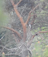 cuckoo in Scots pine (BSCG (Badenoch and Strathspey Conservation Group)) Tags: acm bird cuckoo cuculidae perched tree pine pinus may