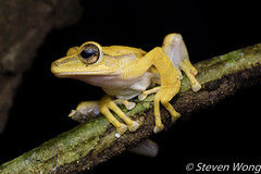 Four-lined Tree Frog (Polypedates leucomystax) (Steven Wong (ATKR)) Tags: steven wong siew por atkr45 stryker wsp atkr herp herping malaysia fourlined tree frog polypedates leucomystax