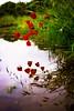 riflessi rossi (stefano7400) Tags: riflessi acqua rosso fiori flower natura papavero fujifilm fujifilm35mmf14 contrasti erba verde luce colori saturazione