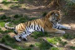 National Zoo 3 May 2018  (681) Tiger (smata2) Tags: tiger tigre flickrbigcats bigcat smithsoniannationalzoo zoo zoosofnorthamerica itsazoooutthere animals zoocritters