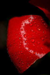 Water drops on a tulip leaf