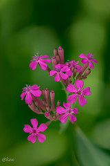 Silene armeria (uko2) Tags: canoneos7dmark canon canonflickraward flower flora flowers fleurs flores tamron awesomeblossoms macro