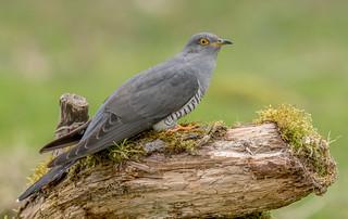 DSC8764  Cuckoo..