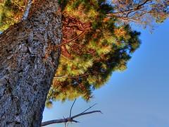 I confirm a coninfer II (elphweb) Tags: hdr highdynamicrange nsw australia tree trees forest bush woods wood
