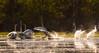 Laulujoutsenet (mattisj) Tags: anatidae anseriformes aves birds cygnuscygnus eläimet fåglar kemi–tornionseutu lapinlääni lapinmaakunta laulujoutsen linnut raumojärvi sorsalinnut sorsat suomi sångsvan tornio whooperswan