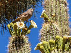 Bird and Blooming Cactus Saguaro (allagill) Tags: bird bloomingcacrus saguaro arizona