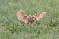 Burrowing Owl mating sequence - 20 of 22