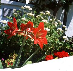 red flowers (megalime) Tags: rollei rolleiflex slide film provia square 6x6 tlr bermuda e6 chrome fuji films fujichrome rdpiii slidefilm filmisnotdead colorfilm analog mediumformat mf scanned positive twinlensreflex v500 epson epsonv500