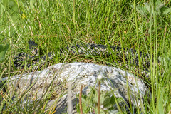 Adder - Viper berus (Matchman Devon) Tags: adder viper berus ayrmer cove south hams devon