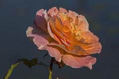Essen Gruga 14102017 027 (Dirk Buse) Tags: essen nordrheinwestfalen deutschland deu nrw de germany rose em5ii mft m43 mu43 natur blüte nature outdoor garten farbe color colour