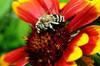 Anthophora (Amegilla) albigena ♀ on Gaillardia pulchella (José Miguel Atienza) Tags: anthophoraalbigenafemale amegillaalbigenafemale anthophoraalbigena amegillaalbigena stripedbee bandedbee animalia arthropoda insecta hymenoptera apoidea apidae apinae anthophora laitrelle1803 gaillardiapulchella indianblanketabeja bee abeille negro black noir schwarz nero μαύρο amarillo yellow jaune gelb giallo κίτρινοσ verde green vert πράσινη naranja orange πορτοκάλι flores flowers fleurs blumen fiori λουλούδια españa spain espagne spanien spagna σπάνια madrid josémiguelatienza atienzamatilla josemiguelatienza atienzamatillajosémiguel josémiguelatienzamatilla josemiguelatienzamatilla canoneos5dmarkii canon 5dmarkii canon5dmarkii canon5dii
