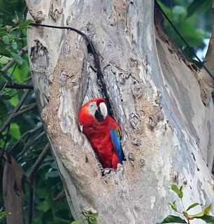 A87A2630 Scarlet macaw