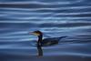 Corvo Marinho (Carlos Santos - Alapraia) Tags: corvomarinho ngc ourplanet animalplanet canon nature natureza wonderfulworld highqualityanimals unlimitedphotos fantasticnature birdwatcher ave bird pássaro cormorant