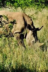 Hidden rhino (Photographer ? Nope) Tags: southafrica safari wildness nature wild naturephotography travel travelphotography africa rhino rhinoceros pilanesberg wildanimal animal animalpicture