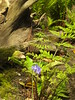One Bluebell & Fern (Cornishcarolin. Stupid busy!! xx) Tags: cornwall penryn httpwwwenysgardensorguk bluebells ferns nature flowers